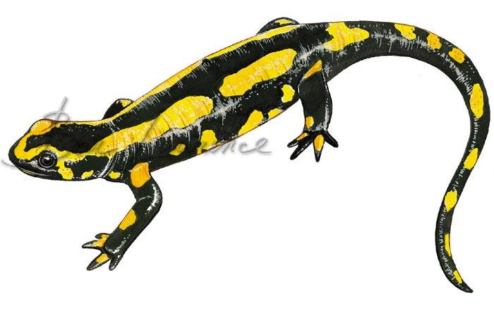 Les animaux - Page 5 Salamandre